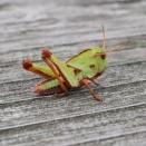 トノサマバッタ/ Locusta migratoria