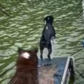 2匹のイヌが湖に飛び込む。ダッシュでヒャッハ~! → 2匹目はこうなった…