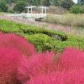 紅く色づくコキアやコスモス 秋真っ盛りの大宮農林公苑へ 2021