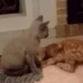 子ネコたちがじゃれて遊んでいた。ちょっとあったかくていい感じ♪ → そこは大きなブタの背中でした…