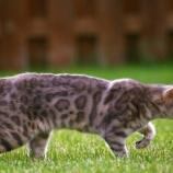 『野生ネコとの交配』の画像