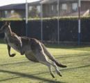 オーストラリアの女子サッカー試合にオスのカンガルーが乱入 半端ない身体能力を披露
