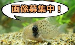 【淡水魚図鑑】アフリカン・ランプアイ