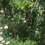『2匹のアゲハ蝶がやってきた ~2020.8.24 庭にて』の画像