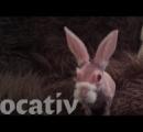 毛のないウサギが人気者:遺伝子変異のため毛がなく毛がないだけでなく長く生きられない可能性
