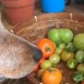 【イヌ】 トマトのヘタを取るのは面倒だ。任せてだワン♪ → 目の前に犬がいれば簡単です…