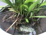 『メダカ喜ぶ水草(ナガバオモダカ)の成長』の画像