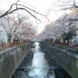 『目黒川に花見に行ってきました』の画像