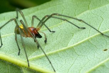 世界中の節足動物の中でNO.1の猛毒蜘蛛が日本在来種の『カバキコマチグモ』