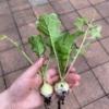 家庭菜園  5月23日に植えたミニ大根を本日収穫しました☆