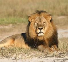 人気ライオン「セシル」殺しで批判を浴びた歯科医、再びトロフィーハンティングに復帰 世界最大の野生羊を殺害