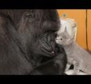 【動画】子ネコと遊びまくるゴリラが話題に
