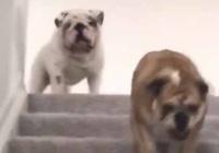 うちには2匹の犬がいる。階段をタッタッタッ♪ → 1匹はこうなります…