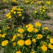 葉山 上山口の自然 「セイヨウタンポポ」