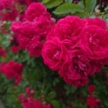 『【写真】 Xperia5  梅雨の華』の画像