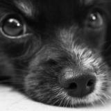 【悲報】犬のようなもの…「カイゾウ…ヤメテ…モウ…シテ…コロシテ」