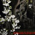 桜見2013・二片