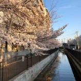 『金岡商店街に桜を見に来てくれた台湾のMei-Meiさん、日本では今が桜は満開ですよ』の画像