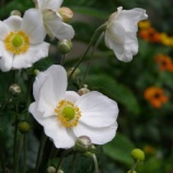 『秋明菊』の画像