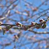 『2018/4/21 ストックホルムの桜祭り』の画像