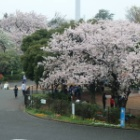 『明日ありと思う心の仇桜』の画像