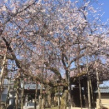 『城福寺の枝垂れ桜』の画像
