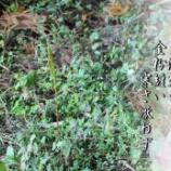 『フユノハナワラビ』の画像