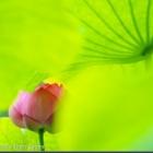 『令和元年お初の花撮りは万博公園・日本庭園のハス』の画像