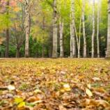『秋の円山公園Maruyama Park in autumn. 』の画像