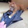 下僕の物は猫のモノ!飼い主のズボンを追いかけるマーマレードと、コールの体調不良報告
