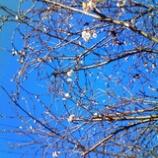 『晴れ間の寒さくらもまた』の画像