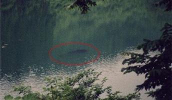 伝説の巨大魚 UMA『タキタロウ』間違いなくいる! 大鳥池で生息調査へ