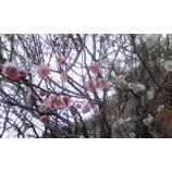 『紅・白は一つの梅』の画像