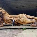 『ローズウッドのライオン』の画像