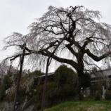 『高円寺の枝垂れ桜』の画像