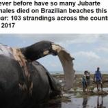 『世界各地でザトウクジラの異常事態』の画像