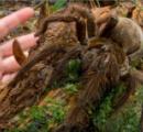【画像】ジャングルで世界一大きいクモを発見