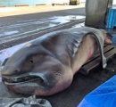 【画像】幻のサメ メガマウス