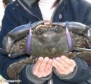 「大発見」海洋専門家も驚いた!「DASH海岸」でめったに見られない巨大カニが発見
