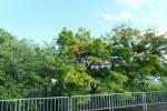 ちょっ!早すぎへん?河内森駅前の『もみじ』。まだ8月なのにちょっと色づいてきてる!
