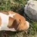 【イヌ】 石だと思ったらカメだった。なんじゃこりゃぁ~! → 馬と犬はこうなった…