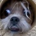 近所を歩いていると壁から犬が現れた!壁からなかなかの形相で顔を出してくれる犬の存在