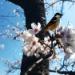 散る桜・・・