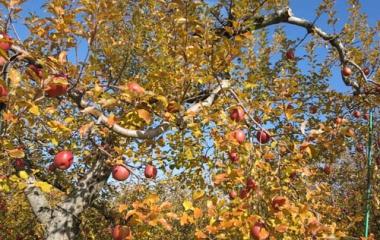 『りんご園の紅葉』の画像