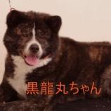 『ワイズドギーでマイクロ&シャンプー♪秋田犬の黒龍丸ちゃん』の画像