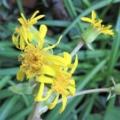 こぼれ種から4年目に咲いたツワブキの花 2021