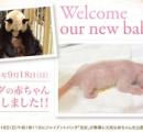 雌の赤ちゃんパンダ誕生…和歌山・アドベンチャーワールド