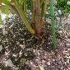 【バラのテッポウムシ対策】テッポウムシ予防樹脂フィルムを塗ってみた(※閲覧注意:虫の絵描いてます)