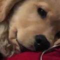 【子イヌ】 私が膝に乗せたパソコンで作業を始める。やめて♪ → 寝転ぶ子犬はこうします…