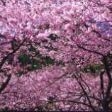 『お花見してきました。』の画像